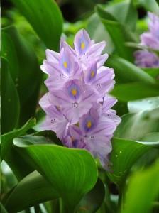 water-hyacinth