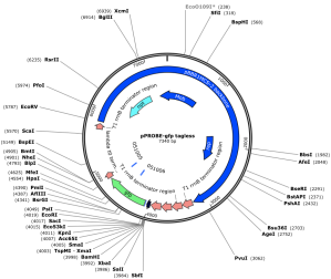 GFP-expressing E.coli expression map